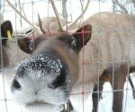 Fun for the family! U Cut Christmas trees and reindeer to feed!